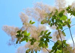smoke_tree.jpg